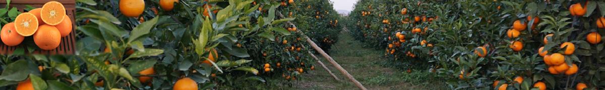 鸣鸣果园沃柑种植技术