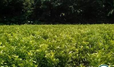 广西沃柑的栽培技术要点