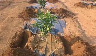 广西贡柑苗的栽植方式介绍