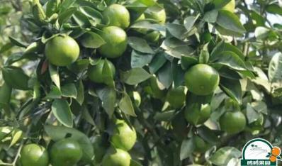 广西沃柑苗-沃柑种植第三年株产80-100公斤的技术要点