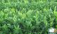 广西柑橘无病苗脱销 规模化种植拉动需求