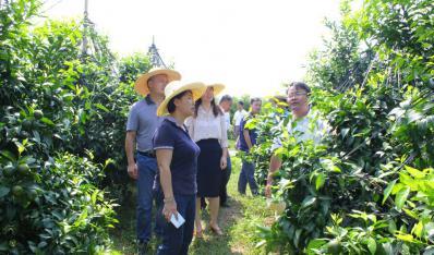 2017年7月2日,南宁市农委主任杨敏(前)到鸣鸣果园调研指导