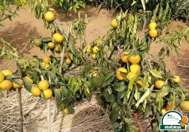 形成柑橘低产树的主要因素