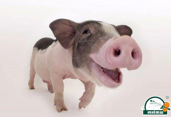 猪粪当肥料