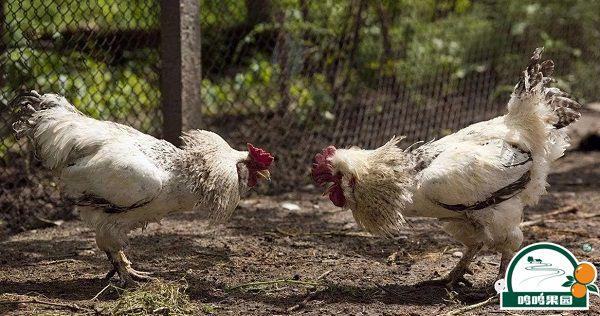禽粪当肥料