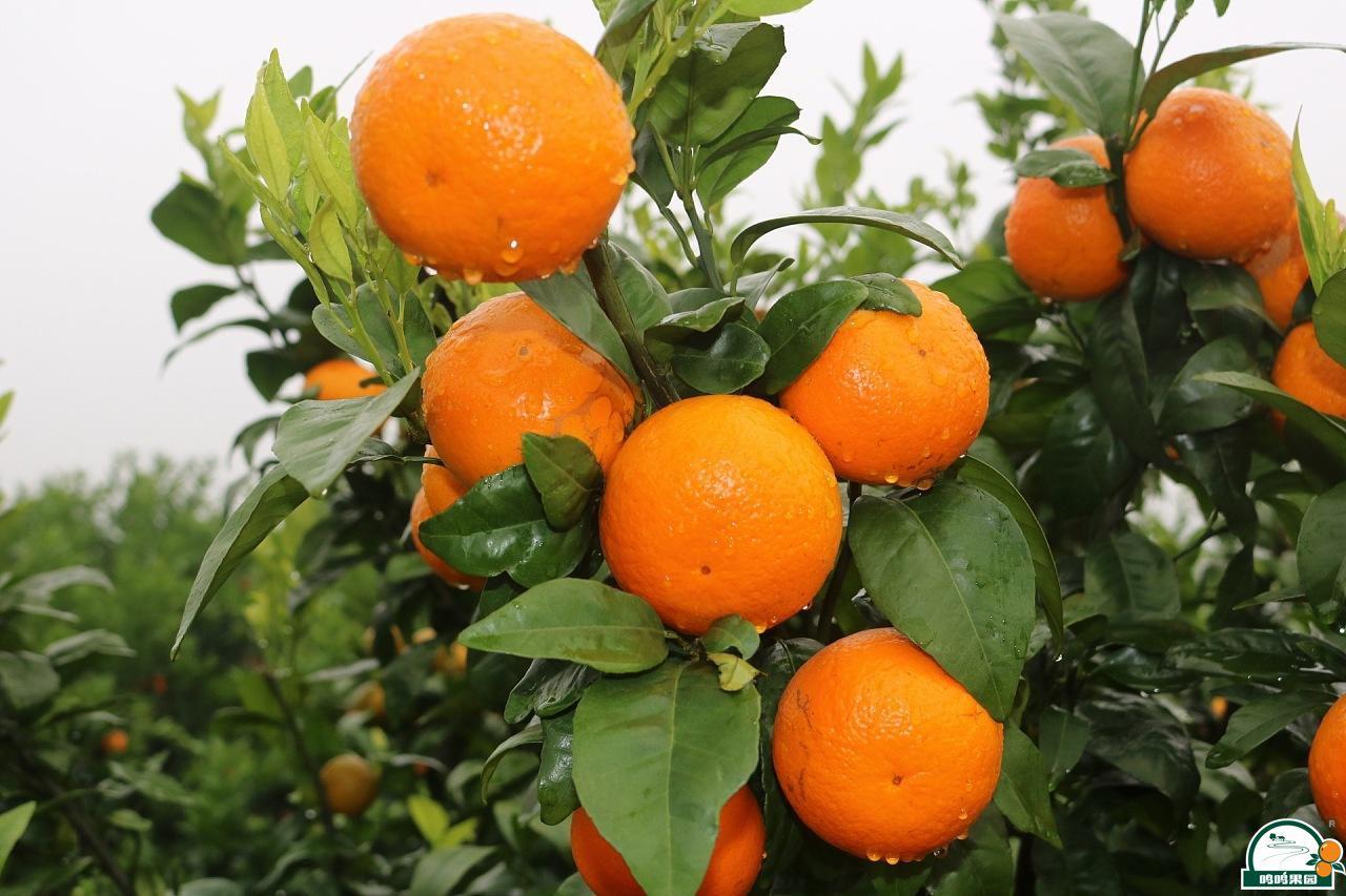 晚熟柑橘,良法育苗
