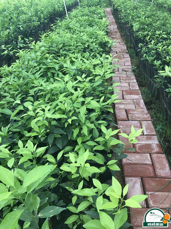 鸣鸣果园建成了200亩晚熟柑橘标准化良法苗木繁育基地