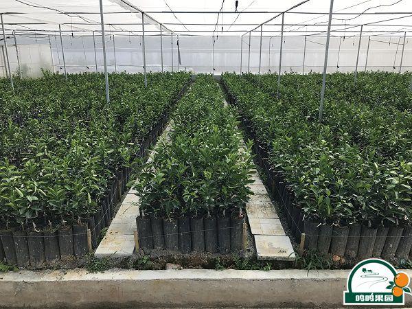标准化无病毒沃柑苗木种植基地