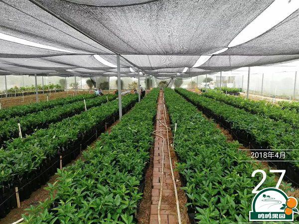 优质沃柑苗培育者