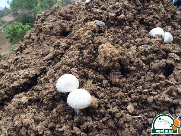武鸣沃柑农家肥