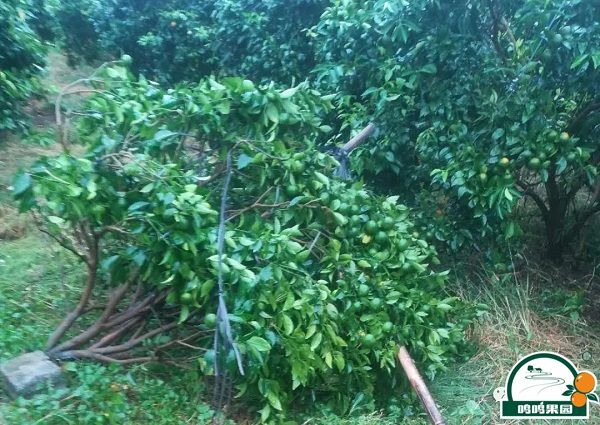 武鸣一小部分沃柑果树被吹倒