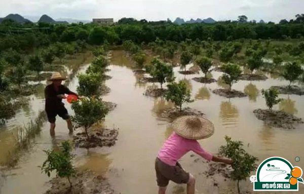 沃柑园被水淹了怎么办?