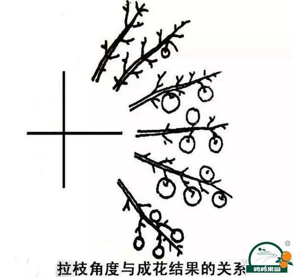 木质部收到轻微损伤利于枝干定型