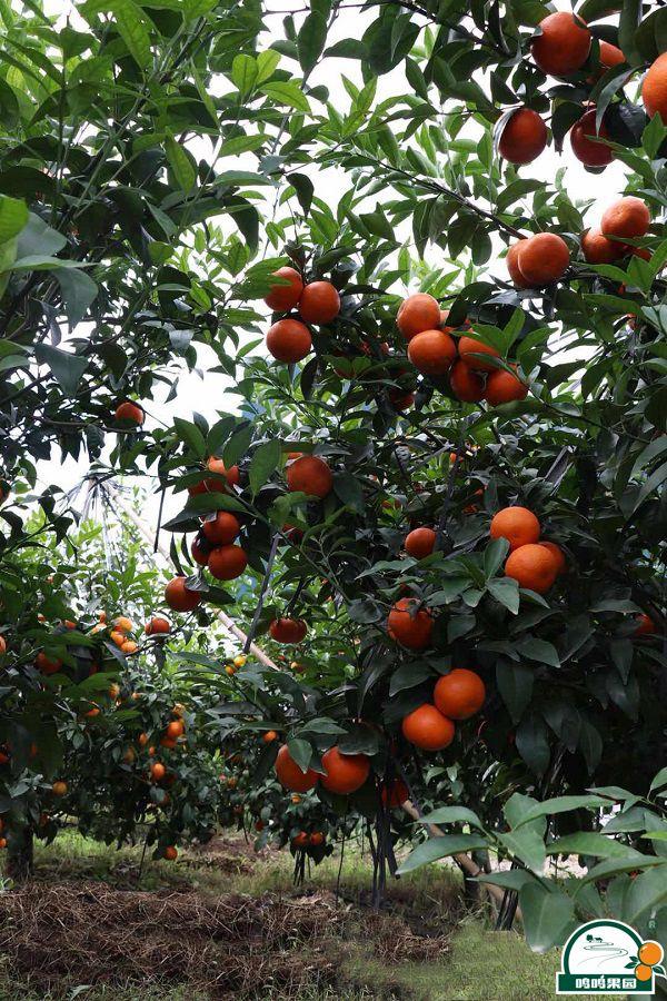 沃柑种植成熟时期