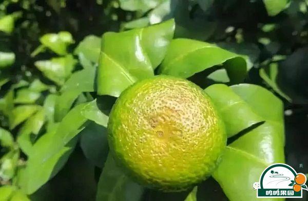 柑橘油斑病怎么办?