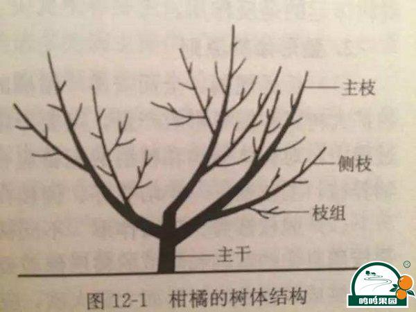 柑桔树修剪