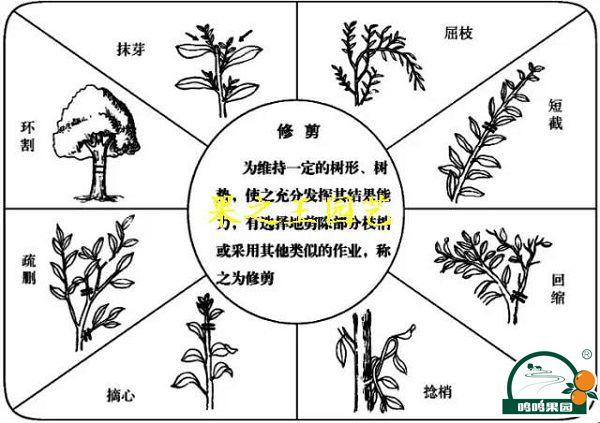 柑桔树修剪技术