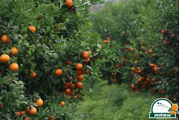 鸣鸣果园种植的沃柑
