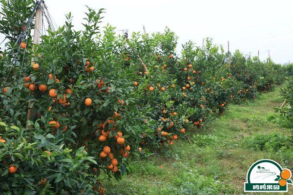 鸣鸣果园沃柑种植的生草栽培