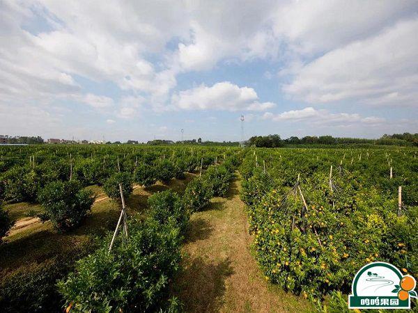鸣鸣果园沃柑生产基地大景