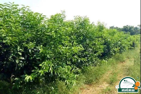 沃柑种植的结果现状