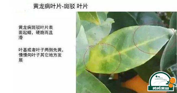 柑橘黄龍病