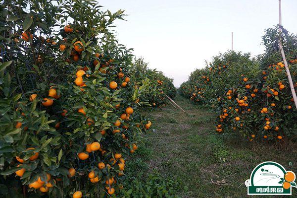 鸣鸣果园生草栽培沃柑种植基地