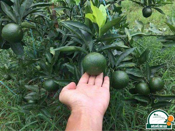 如何给柑橘施水溶肥