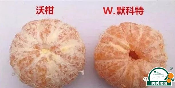 沃柑与W.默科特的果肉对比