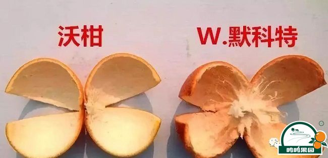 沃柑与W.默科特的果皮对比