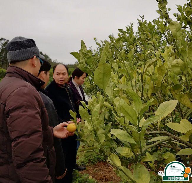 武鸣区人民政府副区长岑玉寒(右一)一行查看病树