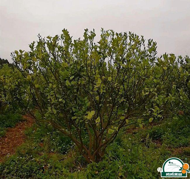一种植户50亩果树经检测已确认为黄龙病