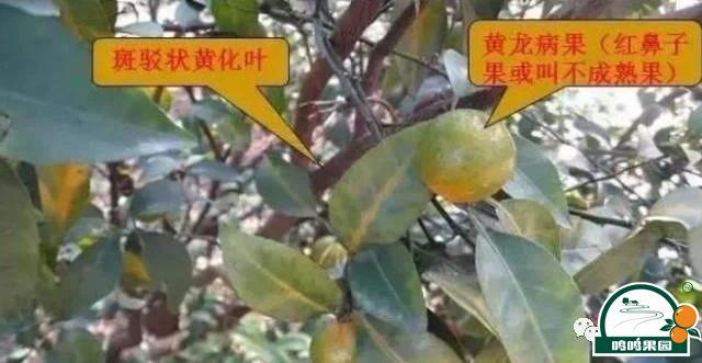 柑橘黄龙病的主要症状之一:主要从叶片的基部和边缘开始发黄,黄绿相间,呈现斑驳状。