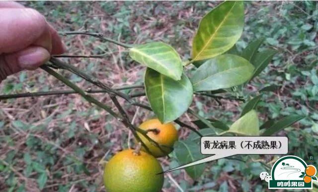 橘黄龙病的主要症状之一