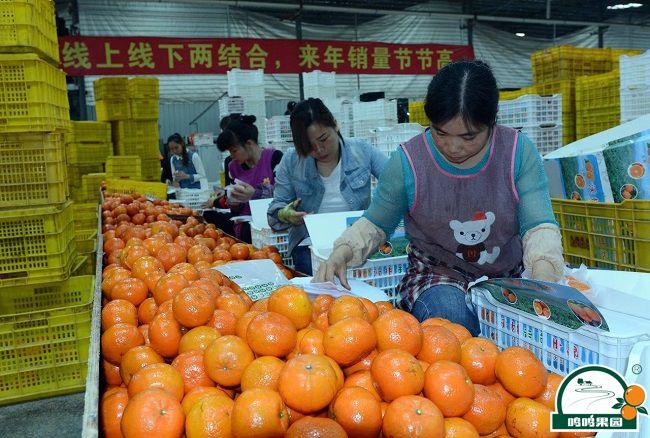工人们正在分选包装沃柑