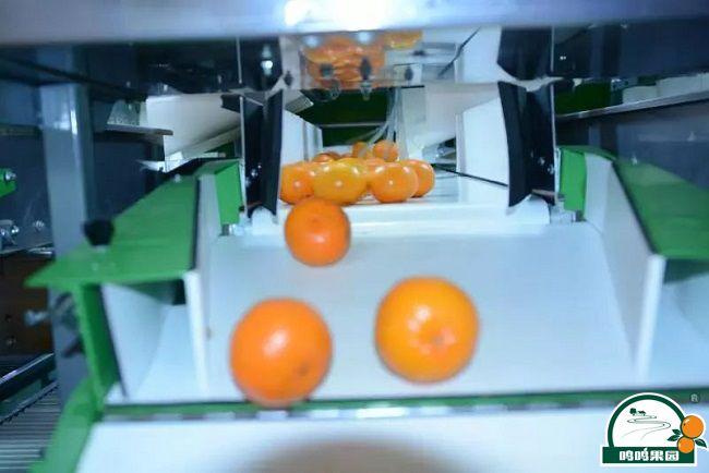 柑橘表面质量瑕疵分选生产线